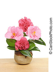 Camellia arrangement - Arrangement of camellia flowers and...