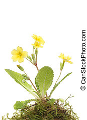 Primrose plant and flowers against a white background