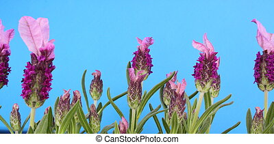 Lavender in flower - Lavandula Stoechas in flower on a blue...
