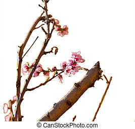 Peach flowers - A tree with pink peach flowers over white