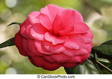 Camellia Flower Bloom - A near perfect camellia flower in...