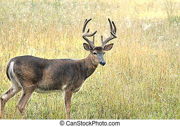 Whitetail Deer Buck - A whitetail deer buck in late summer...