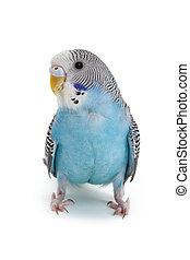 藍色, Budgie