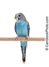 blue budgie close up shot