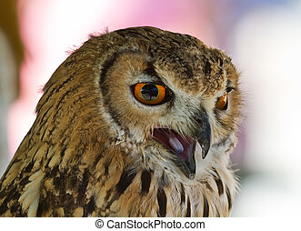 Eurasian Eagle-owl - The Eagle Owl is a large and powerful...