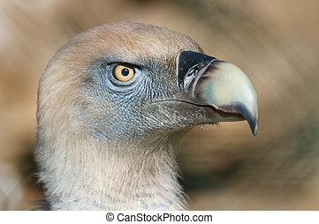 buitre leonado Gyps fulvus - The griffon vulture Gyps fulvus...