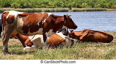 Ukrainian village cows.