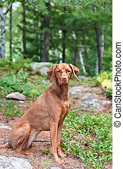 Female Vizsla Dog Sitting in the Woods - A female Vizsla dog...