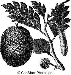 Breadfruit, Artocarpe or Artocarpus altilis old engraving....