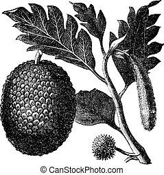 Breadfruit, Artocarpe or Artocarpus altilis old engraving....