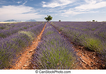 Provence lavender field - Tree in the rows of scented...