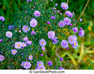 Beautiful lilac asters. A background. Shallow DOF