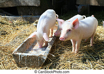 Little pigs - An image of a group of three little pigs