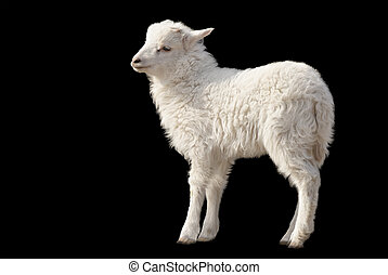 Cute fluffy lamb on black background - Cute fluffy white...