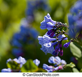 Close up of bluebells in April - Fresh wild bluebells in a...