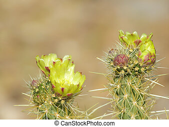 Blooming Cactus with Yellow Flowers in Anza Borrego Desert,...