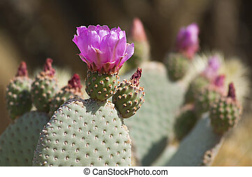 Blooming Cactus with Pink Flowers in Anza Borrego Desert,...
