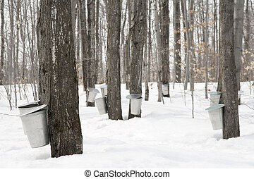 Maple syrup production. Pails used to collect sap of maple...