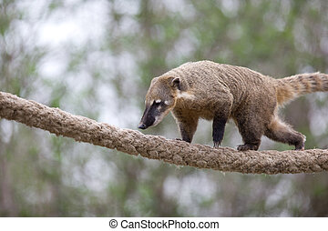 portrait of a very cute White-nosed Coati