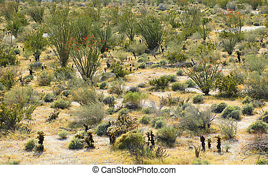 Blooming Ocotillo and Cacti in Anza Borrego Desert,...