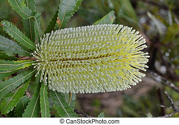 Banksia Integrifolia Blossom - A beautiful lemon flower head...