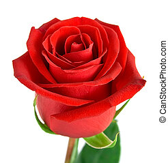 Red rose with green leaves. Isolation on white background....