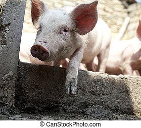 Ukrainian farm pigs