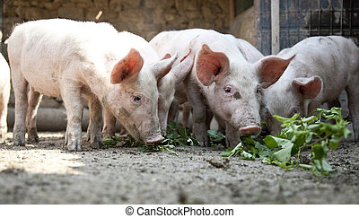 Ukrainian farm pigs