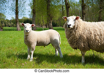 lamb - young lamb with his mother looking at the...
