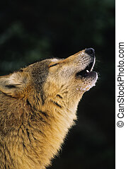 Howling Wolf Portrait - a close up side view of a howling...