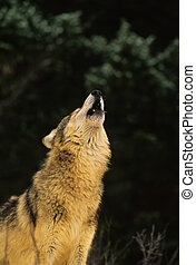 Howling Wolf - a wolf howling against a dark background
