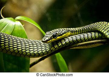 venenoso, serpiente