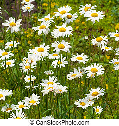 white daisy - field of white camomiles, outdoor