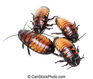 four Madagascar cockroaches isolation on a white background