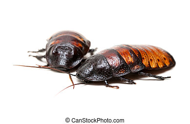 two Madagascar cockroaches isolation on a white background