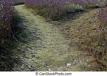 Junction - Footpath junction in purple weed field at late...