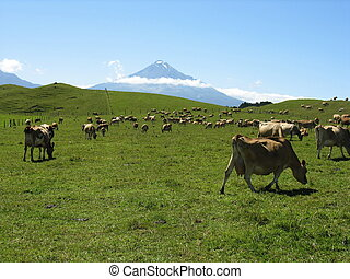Mt Taranaki - Cows at the foothills of Mt Taranaki