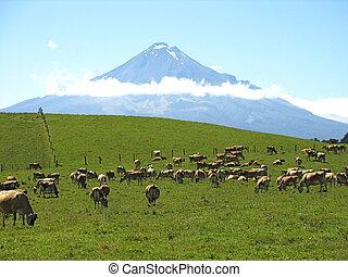 Mt Taranaki - Cows at the foothills of Mt Taranaki
