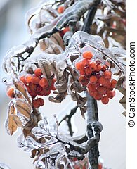 Berries. Ice. Sleet. - Mountain ash berries covered with a...