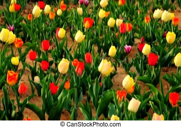 tulips move in - tulips zooming in for close-up