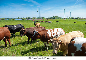 cows in a meadow in a typical Dutch river landscape. On the...