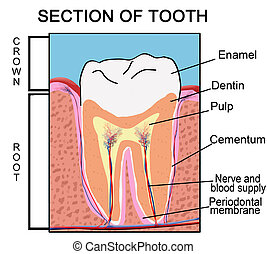 Section of Tooth, vector illustration for Education Purpose...