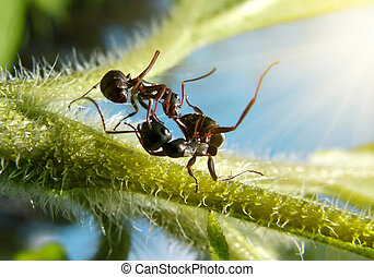 knockout - extreme macro action, fight of black garden ants