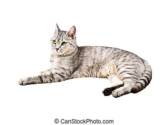 domestic cat with a white background