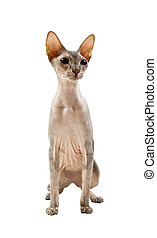 sphynx cat isolated on white background