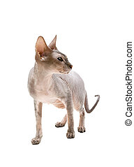 cat sphynx isolated on a white background