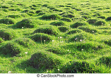 Molehill covered by a grass. - Molehill covered by a grass....