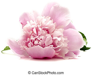 pink peony flower on white background isolated