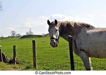 gray horse - large gray horse in a field in springtime