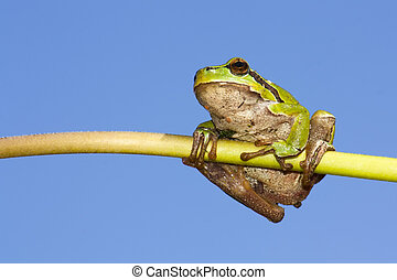 European tree frog and tflower stem - A European tree frog...